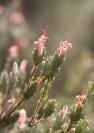 Kangaroo Island Gland-flower (Adenanthos macropodiana), endemic to KI