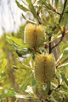 Desert Banksia (Banksia ornata)