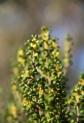 Round-leaf Bertya (Bertya rotundifolia), endemic to KI