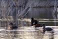 Blue-billed Ducks (Oxyura australis) on our lagoon, a Near Threatened species
