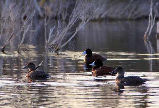 Blue-billed Ducks (Oxyura australis) on our lagoon, a Near Threatened species