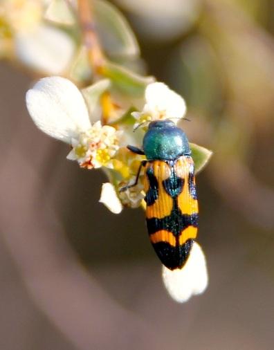 Jewel beetle (Castiarina flavopicta) feeding on Shining Spyridium (Spyridium nitidum)