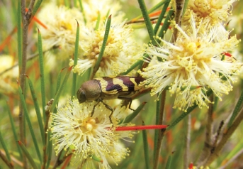 Jewel beetle (Castiarina simulata) feeding on Broombush (Melaleuca uncinata) blossom