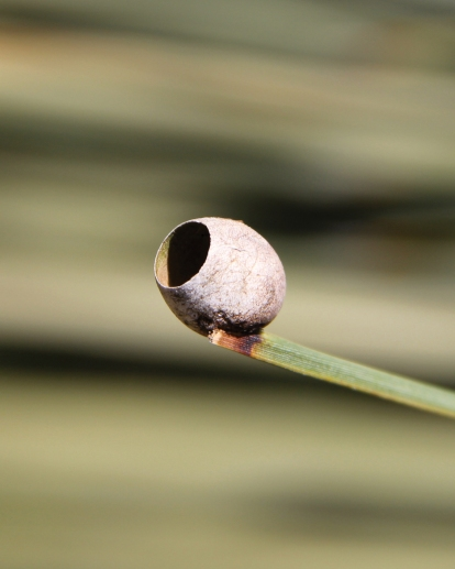 A cocoon on a yacca leaf tip, spun by a Cup Moth larva, Doratifera sp. The moth has neatly excised the cap and emerged.