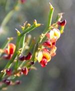 Leafless Bitter-pea (Daviesia brevifolia)