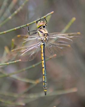 Tau Emerald (Hemicordulia tau) dragonfly on Kangaroo Island Oak-bush (Allocasuarina muelleriana ssp. notocolpica)