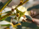 Coastal White Mallee (Eucalyptus diversifolia) flowers with caps about to drop off