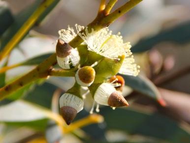Coastal White Mallee (Eucalyptus diversifolia) flowers with caps about to drop off