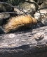 Short-beaked Echidna (Tachyglossus aculeatus  ssp. multiaculeatus) crossing a creek via a fallen log