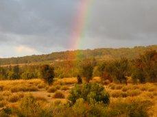 "Our lower ""Flag Field"" of Morning Flags (Orthrosanthus multiflorus) and Sweet Bursaria (Bursaria spinosa)"