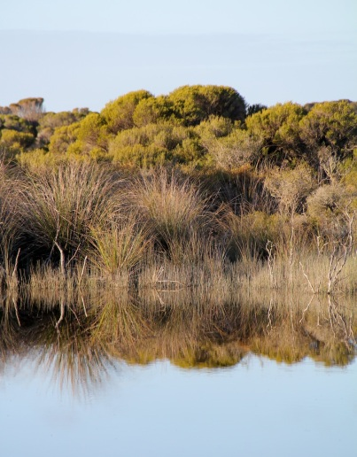 Cutting-grass (Gahnia trifida) on the edge of our lagoon