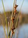 Cutting-grass (Gahnia trifida)