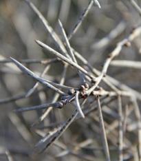 Heath Needlebush (Hakea mitchellii)