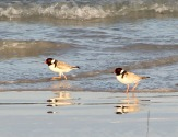 Hooded Plovers (Thinornis rubricollis), a threatened beach-nesting species, Wreckers Beach