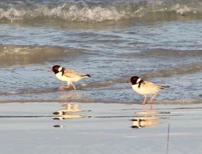 Hooded Plovers (Thinornis rubricollis), a threatened beach-nesting species, Wreckers Beach