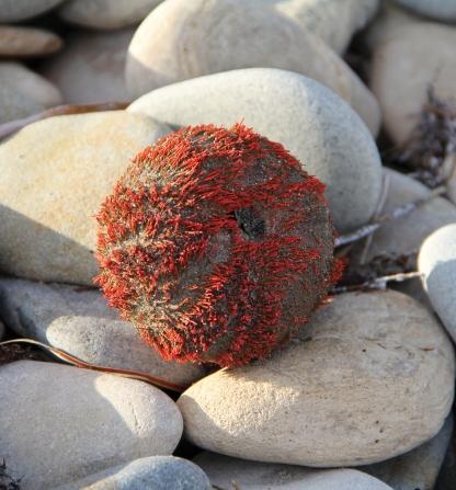 Sea urchin, Wreckers Beach
