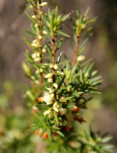 Kangaroo Island Brush Heath (Brachyloma ericoides subsp. bicolor), endemic to KI