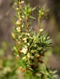 Kangaroo Island Brush Heath (Brachyloma ericoides subsp. bicolor), endemic to KI