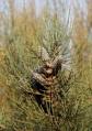 Kangaroo Island Oak-bush (Allocasuarina muelleriana ssp. notocolpica), endemic to KI