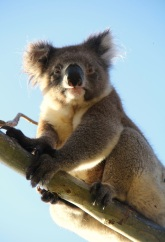 Koala in the yard. Koalas aren't native to KI, they were introduced in the 1920s. The population boomed and overbrowsing has caused large areas of eucalypts to die.