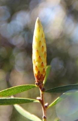 Scarlet Bottlebrush (Callistemon rugulosus var rugulosus)