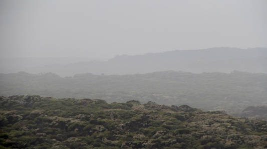 Flowering melaleucas in the mist, viewed from Southern Ocean Lodge
