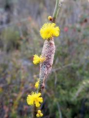 A moth cocoon spun around Spiny Wattle (Acacia spinescens) inflorescences