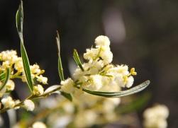 Myrtle Wattle (Acacia myrtifolia)