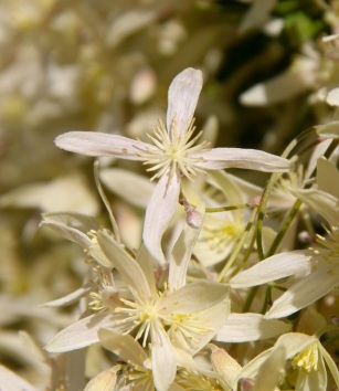 Old Man's Beard (Clematis microphylla)