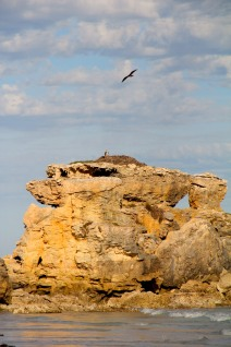 Osprey (Pandion haliaetus), Wreckers Beach, a sketch of this nest was drawn by a survivor of the Osmanli shipwreck of 1853.