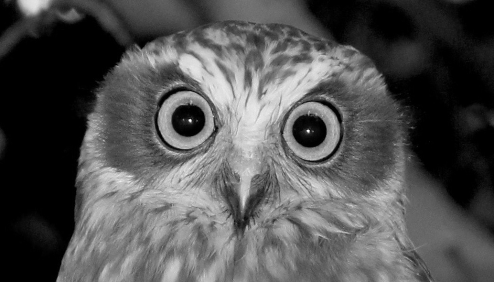 Owl bw cropped
