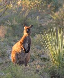 Kangaroo Island's endemic subspecies of the Western Grey Kangaroo (Macropus fuliginosus fuliginosus) on our powerline track