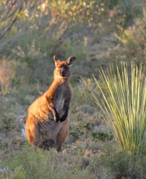 Kangaroo Island's endemic subspecies of the Western Grey Kangaroo (Macropus fuliginosus fuliginosus) on our powerline track