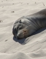An Australian Sea Lion (Neophoca cinerea) sleeping on the beach at Seal Bay Conservation Park,  a well-earned rest after days feeding at sea.