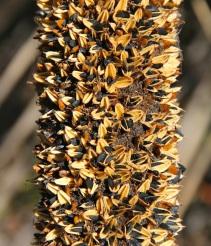 Seeding yacca flower spike (Xanthorrhoea semiplana ssp. tateana)