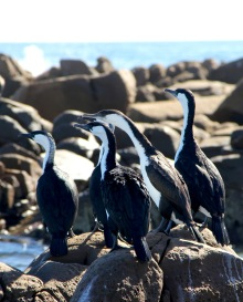 Shags on the rocks