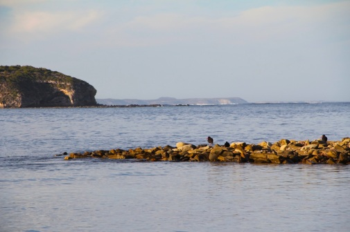 Sooty Oystercatchers, Wheatons Beach, D'Estrees Bay