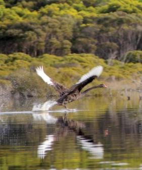 Black Swan (Cygnus atratus) taking flight on our lagoon