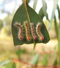 Bombycoid moth larvae gathered on a Eucalyptus leaf they are eating