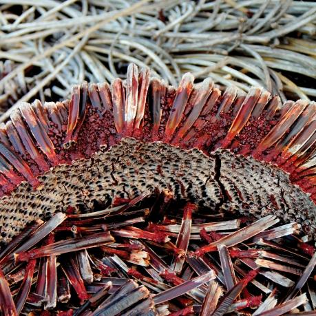 Inside of a decaying Yacca trunk (Xanthorrhoea semiplana ssp. tateana)