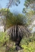 One of our huge old Yaccas (Xanthorrhoea semiplana ssp. tateana)