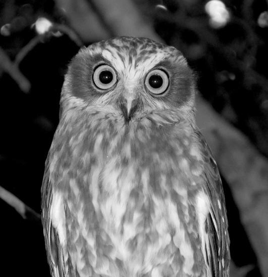 Southern Boobook (Ninox novaeseelandiae), we often hear its double hoot at night; the second hoot is lower