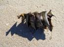 Port Jackson Shark egg, D'Estrees Bay